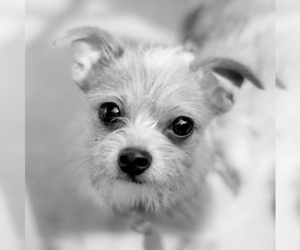 Small #2 Breed Chorkie image