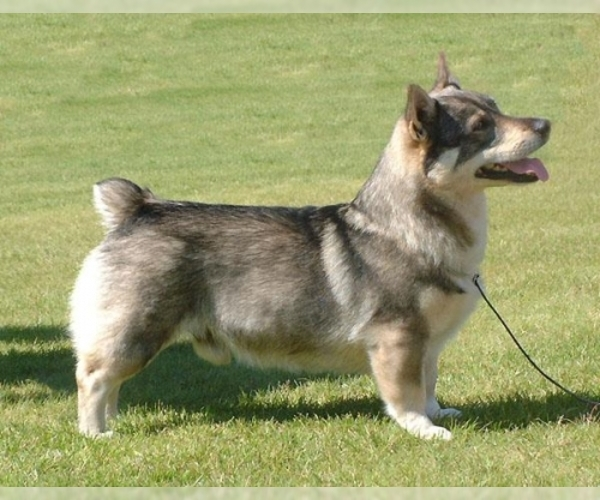 Image of Swedish Vallhund Breed
