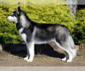 Small #5 Breed Siberian Husky image