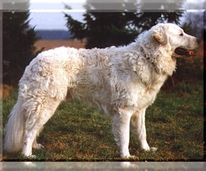 Image of Kuvasz breed