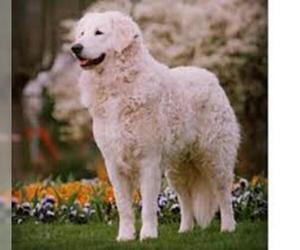 Kuvasz Breed Information And Pictures On Puppyfindercom
