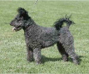 Image of Pumi breed