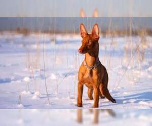 Small #3 Breed Pharaoh Hound image