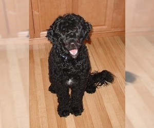 Image of breed Portuguese Water Dog