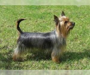Small #2 Breed Silky Terrier image