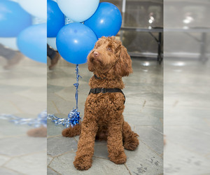 Small #3 Breed Labradoodle image