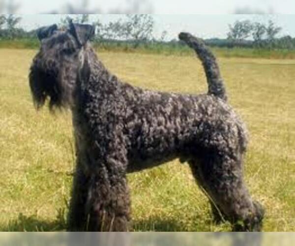 Medium Photo #2 Kerry Blue Terrier Dog Breed