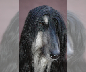 Small #7 Breed Afghan Hound image
