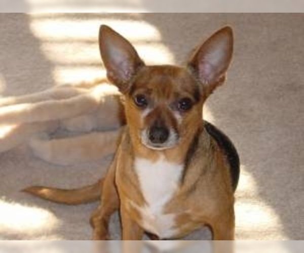 Image of Chiweenie Breed