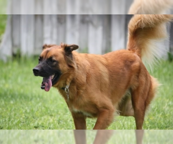 Image of Golden Shepherd Breed