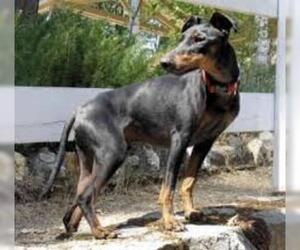 Small #3 Breed Manchester Terrier (Standard) image