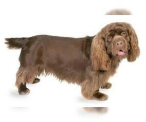 Small #5 Breed Sussex Spaniel image