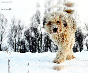 Bergamasco Sheepdog