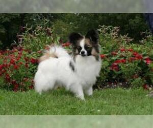 Small #3 Breed Papillon image