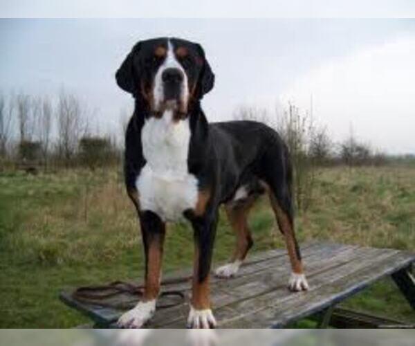 Medium Photo #6 Greater Swiss Mountain Dog Dog Breed