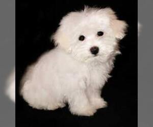 Small #2 Breed Shih-Mo image