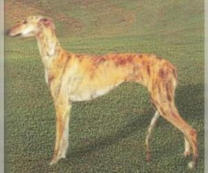 Spanish Greyhound