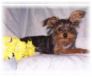 Image of breed YorkiePoo