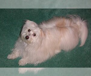 Small Photo #1 Kimola Dog Breed