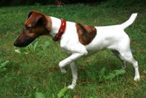 Small #4 Breed Fox Terrier (Smooth) image