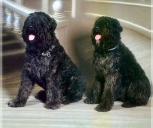 Small Photo #1 Bouvier Des Flandres Dog Breed