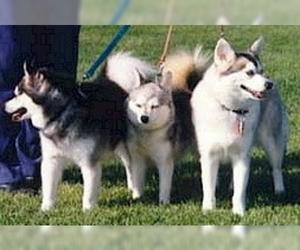 Image of breed Alaskan Klee Kai
