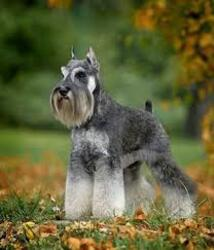 Small #4 Breed Schnauzer (Miniature) image