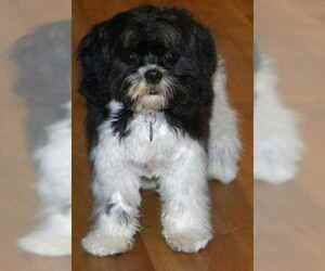 Small #1 Breed Lhasalier image