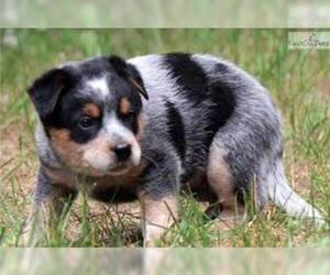 Small #6 Breed Australian Cattle Dog image