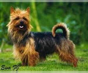 Small #1 Breed Australian Terrier image