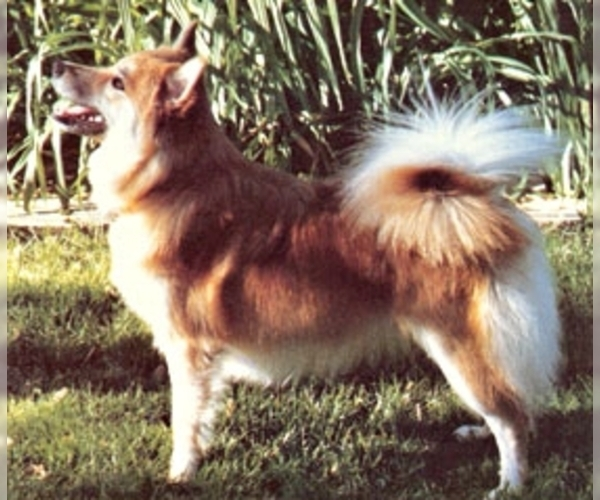 Image of Iceland Sheepdog Breed