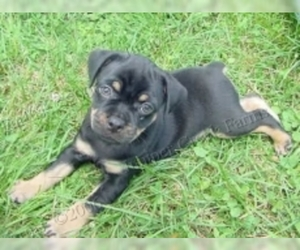 Image of Carlin Pinscher Breed