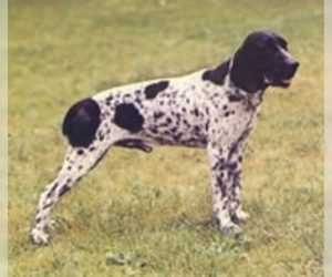 Image of Ariege Pointer Breed