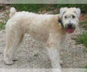 Small #3 Breed Soft Coated Wheaten Terrier image