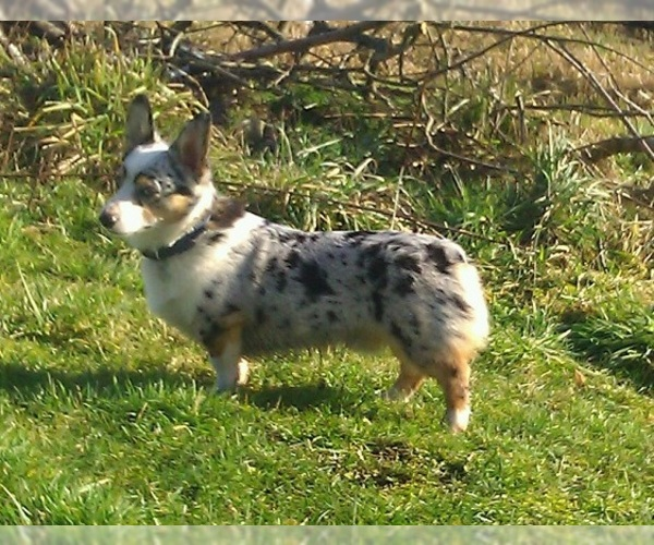 Image of Cowboy Corgi Breed