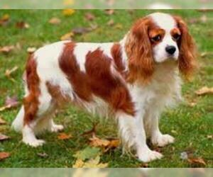 Small #2 Breed Cavalier King Charles Spaniel image