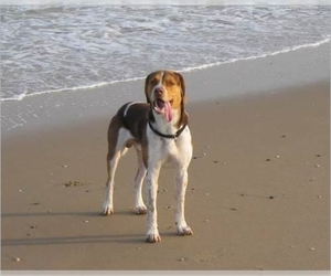 Image of English Foxhound breed