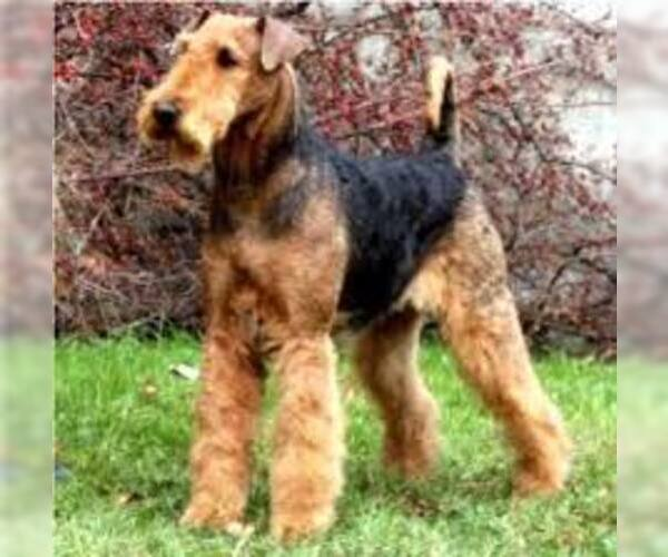 Medium Photo #5 Airedale Terrier Dog Breed