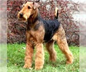 Small Photo #5 Airedale Terrier Dog Breed