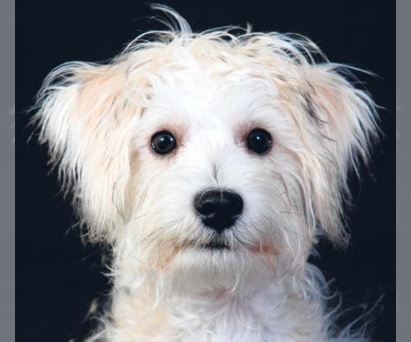 Image of Schnoodle (Standard) Breed
