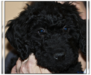 Small #9 Breed Labradoodle image