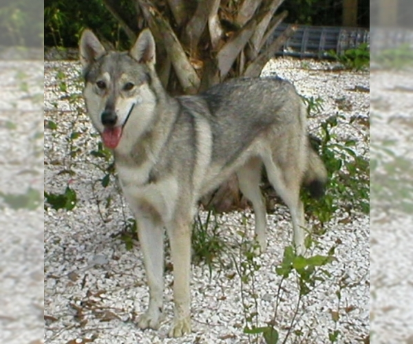 Image of Wolamute Breed