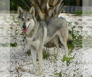 Image of breed Wolamute