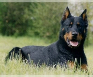 Small Photo #1 Beauceron Dog Breed