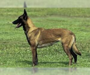 Small #3 Breed Belgian Malinois image