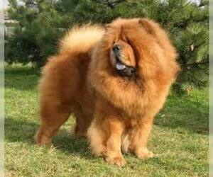 Small #4 Breed Chow Chow image