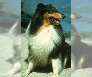 Image of Collie breed