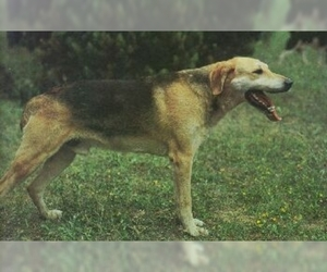 Image of Russian Hound breed