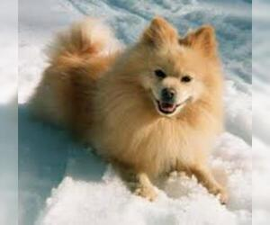 Small Photo #5 Pomeranian Dog Breed