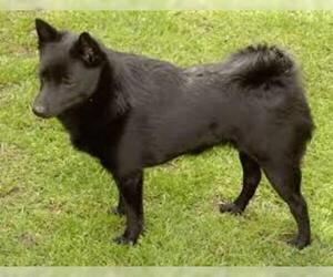 Small #7 Breed Schipperke image
